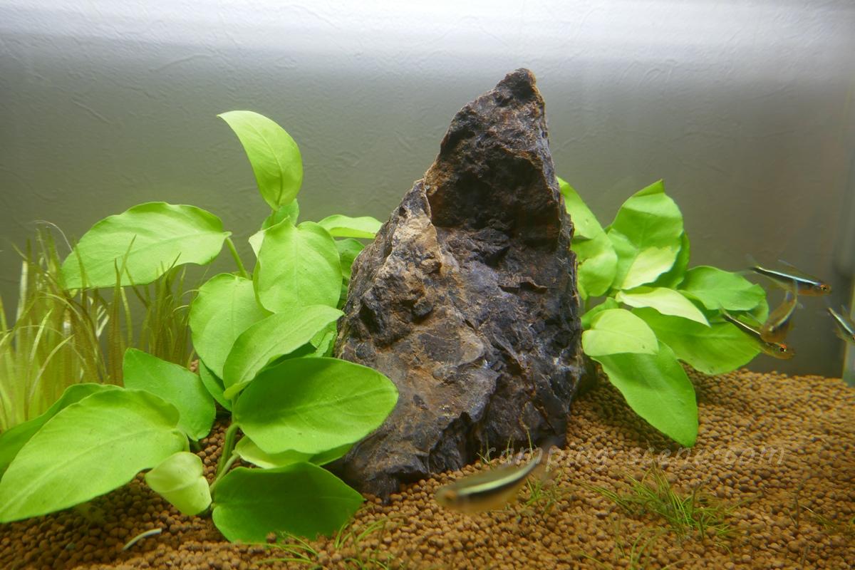 ADAの小型水槽に水草と魚を追加しました 石組みレイアウト思案中です