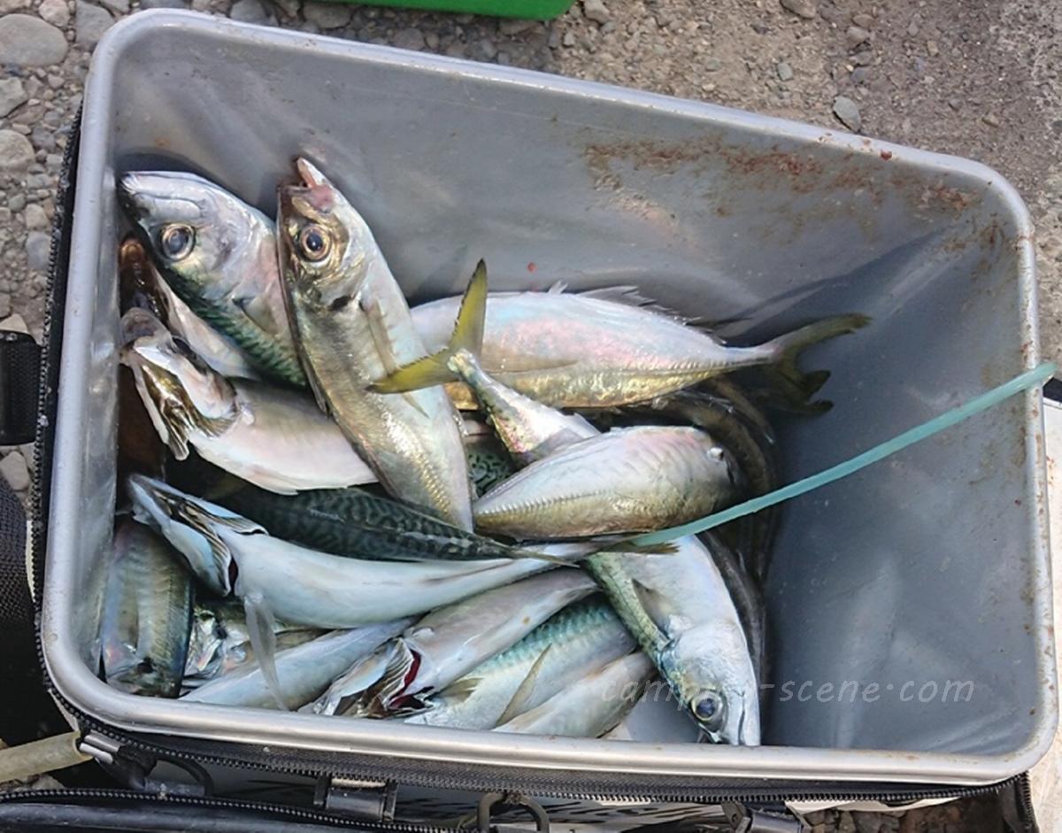 新潟県上越の堤防から狙えるデカいアジを釣る仕掛けを紹介