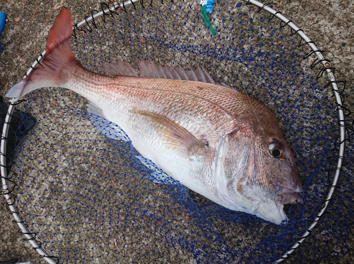 巨大マダイが釣れる堤防、ハッピーフィッシング直江津で遠投カゴ釣りやってみた。